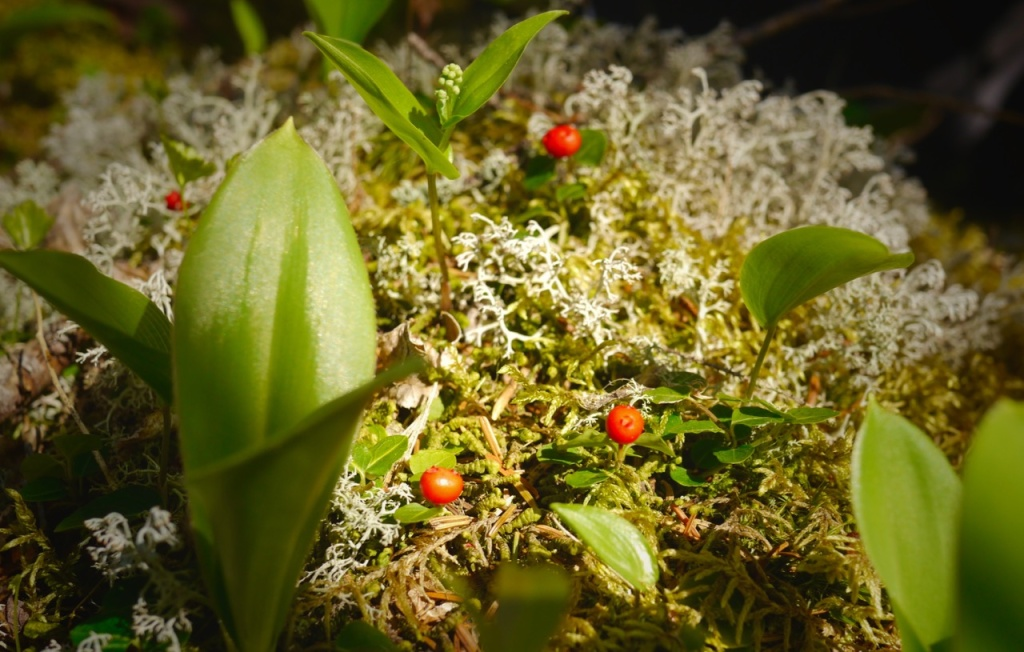 Wintergreen berries - a fresh forest floor snack!