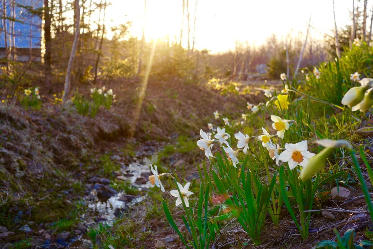 Daffodils abloom along brook