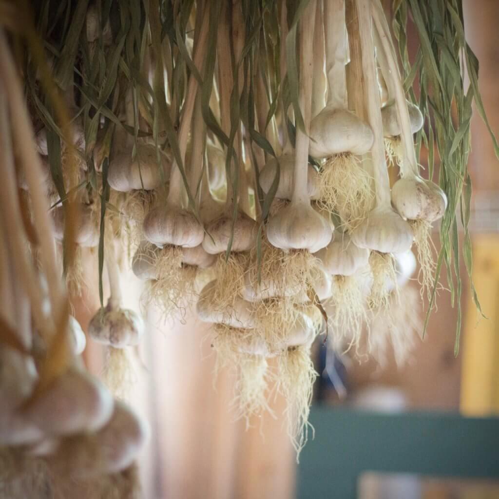 Garlic a-curing